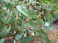 Eucalyptus Plant In Lucknow