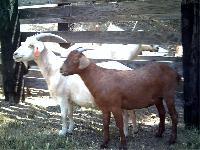 Kiko Breed of Goat