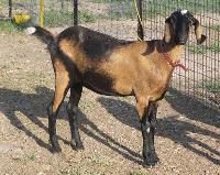 Nubian Breeds of Goat