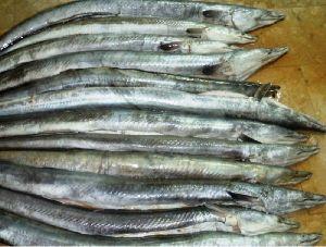 Fresh Conger Eel Fish