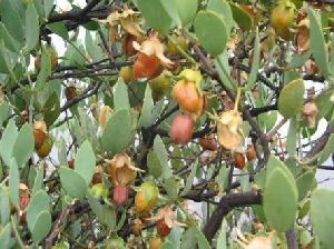 Jojoba Seeds, Jojoba Oil, Dragon Fruits, Isbgol