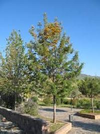 Silver Oak Tree