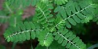 Phyllanthus Niruri Herb Extract