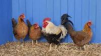 Chicken Hens