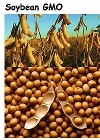 Genetically Modified Soybean Seeds