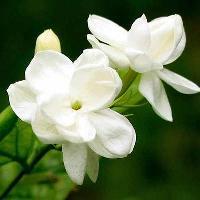 Mullai Flowers