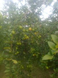 Thai lemon Plant