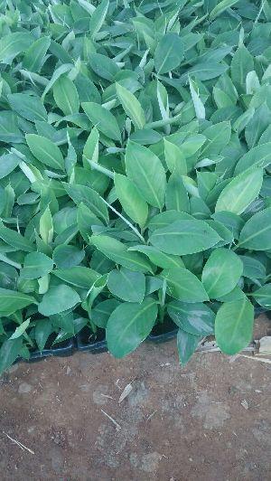 Grand Naine Banana Plant