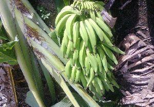 Quintal Nendran Banana Plant