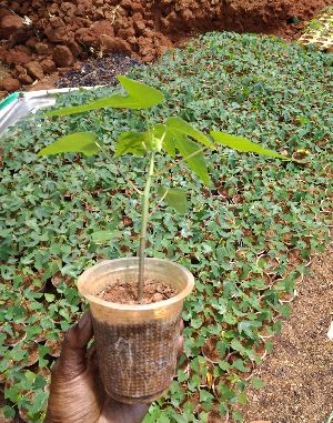 Tissue Culture Papaya Plants
