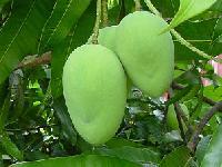 Bainganapalli mango Plant