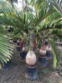 Champion Palm Plant