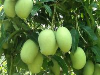 Cherukurasallu Mango Plant