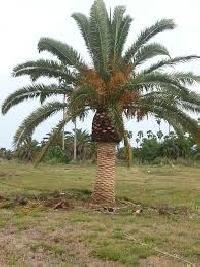 Date Palm Plant