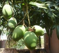 Kothapalli Kobari Mango Plant