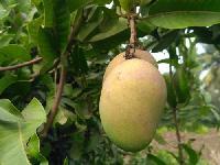 Mall Gova Mango Plant