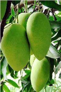 Pedharasallu Mango Plant