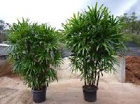 Rhapis Palm Plant