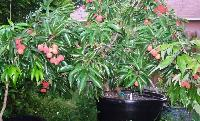 Litchi Plant