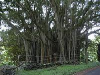 Microcarpa Bonsai Plant