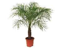 Pygmy Date Palm Plant