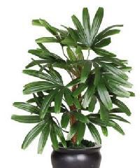Raphis Palm Plant