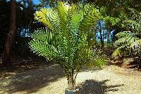 Ravenea Palm Plant