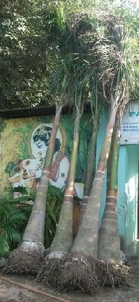 Royal Bottle Palm Plant