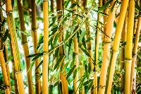 Yellow Bamboo Plant