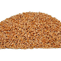 Samba (red) Wheat