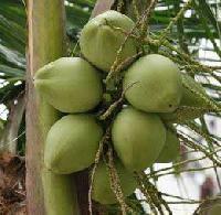 Green Coconut
