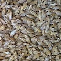 Grain Seeds