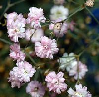 Fresh Gypsophila Flowers