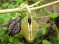 Kaknasa Fruit