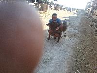 Buy Gulabi Pateri Goat from Animals Farm, Scotland, United