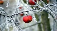 Frozen Fruit Apple