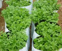 Coriander Plant Growth Promoter