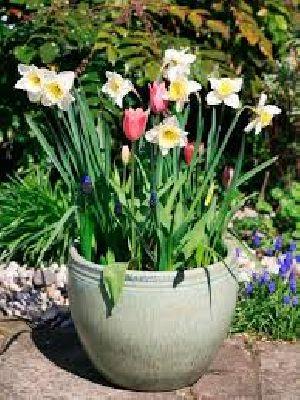 Flowering Bulb Plants