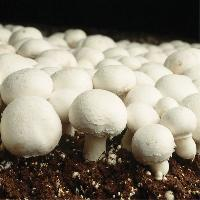 Fresh White Mushroom