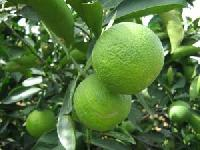 Sweet Lime Plant