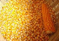 Maize Yellow (makka)