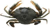Live Sea Mud Crab