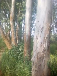 Eucalyptus Log Manufacturers Suppliers Amp Exporters In India