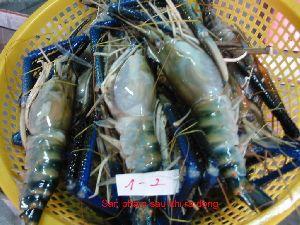 Frozen Scampi Prawn Shrimps
