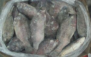 Frozen Tilapia Whole Fish