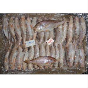 Frozen Yellow Croaker Fish