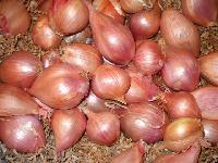 Shallot Onion