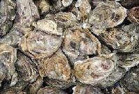 Fresh Oyster Fish