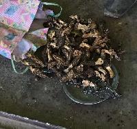 Guchi Mushroom