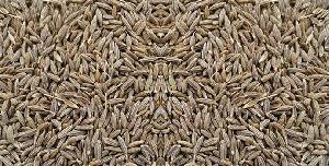 Cunim Seed